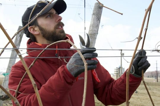 Michael North, a graduate student in horticulture, working along a grape trellis in Madison.