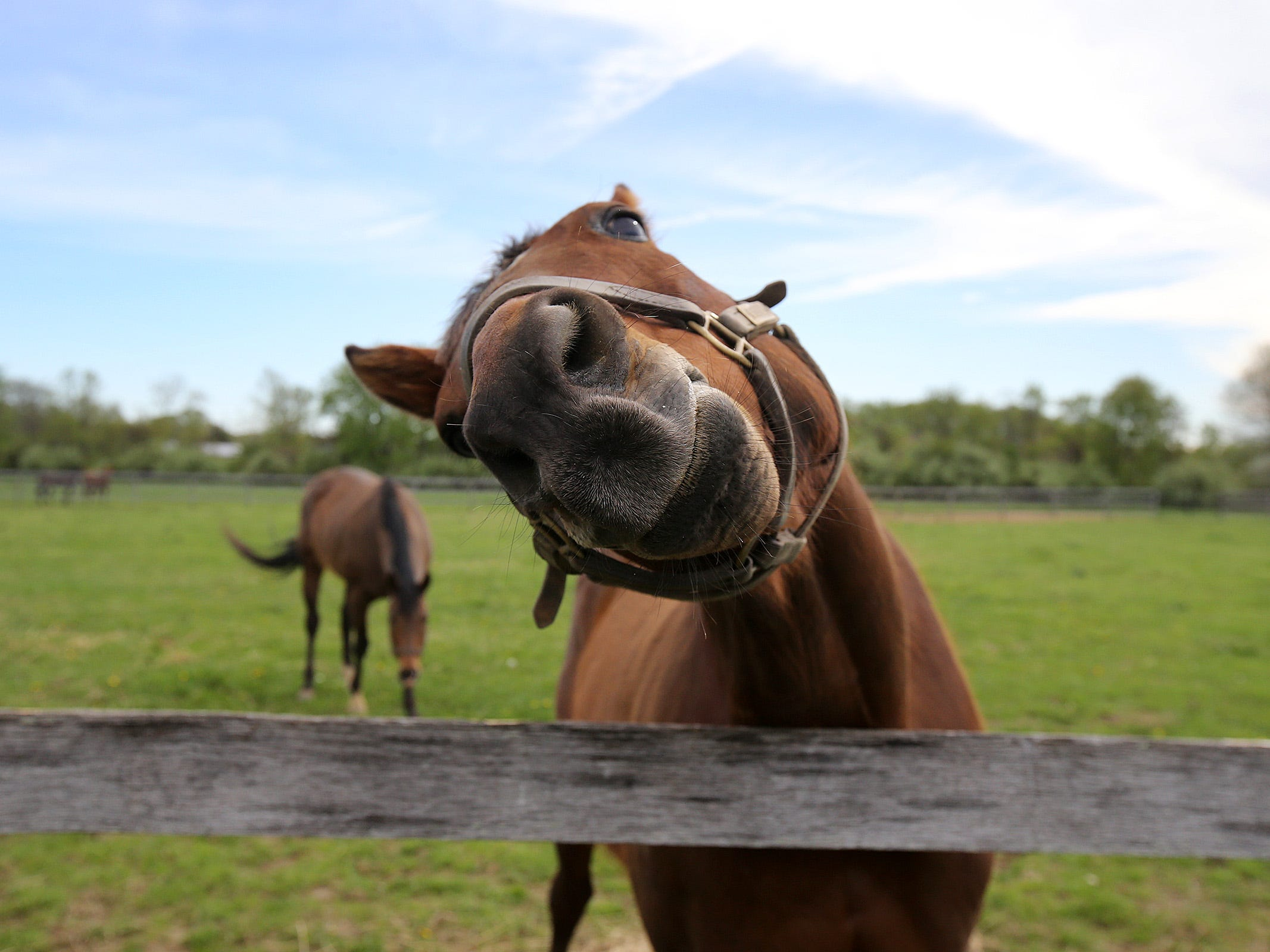 """Livin Large, a 13-year-old retired thoroughbred rescued by Second Call, a thoroughbred adoption and rescue organization that helps find homes for retired Monmouth Park race horses, """"asks"""" for a carrot at Hill Haven Farm in Millstone Twp., NJ Thursday, April 25, 2019."""