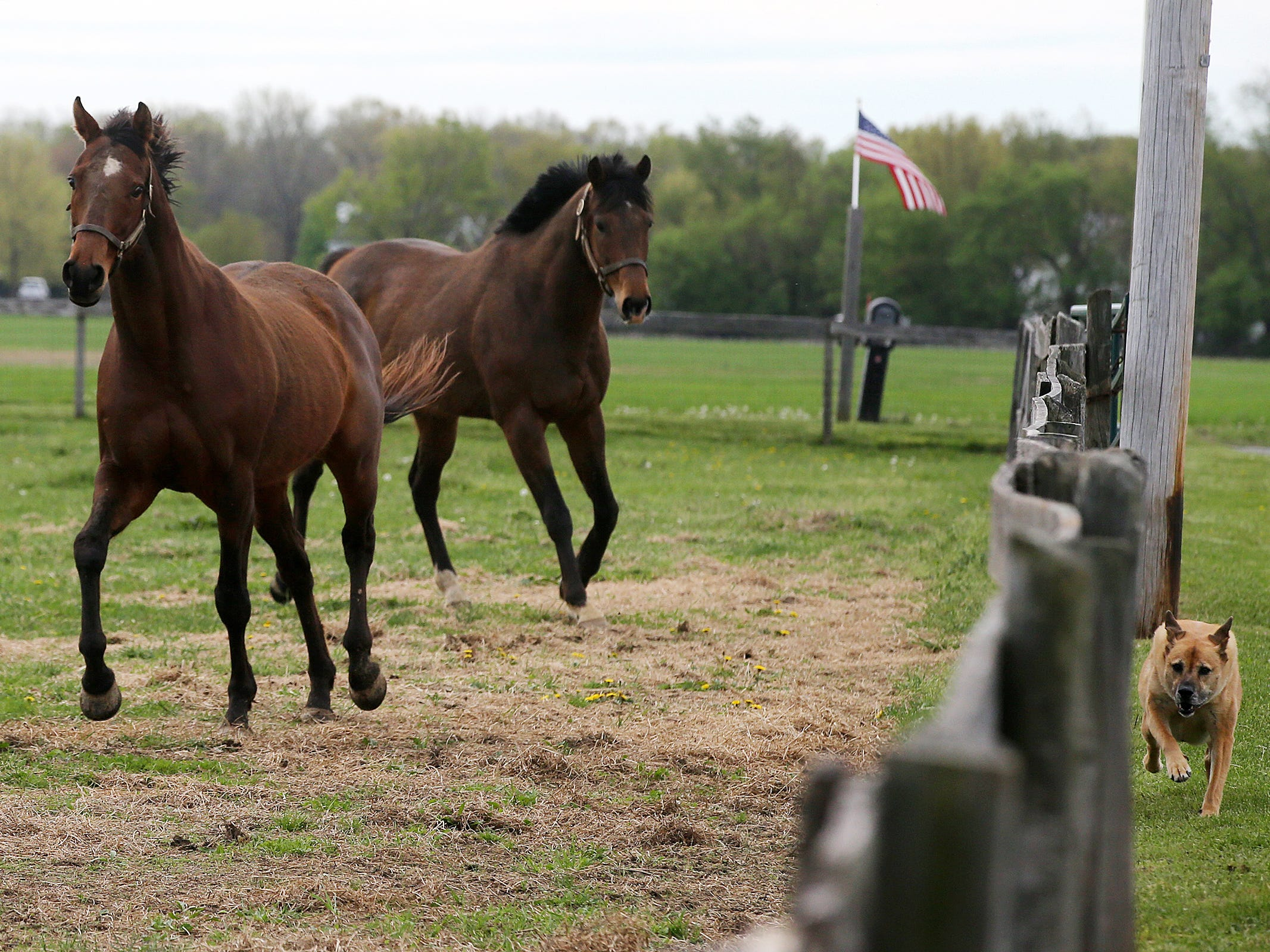 Livin Large, 13, and Jazz Man, 6, both retired thoroughbreds rescued by Second Call, a thoroughbred adoption and rescue organization that helps find homes for retired Monmouth Park race horses, run together at Hill Haven Farm in Millstone Twp., NJ Thursday, April 25, 2019.  Lindsey, a dog owned by Eileen Munyak, who owns Hill Haven Farm, runs along the fence line with them.