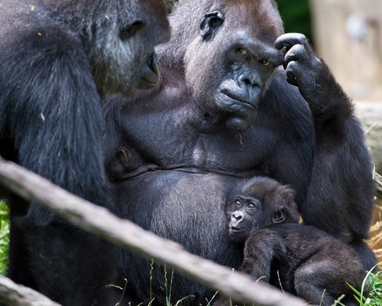 Surrogate mom M'Linzi holds baby Gladys in July 2013 at the Cincinnati Zoo & Botanical Garden.