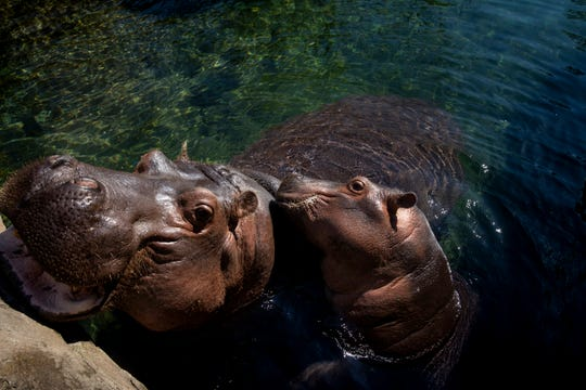Bibi and Fiona wait for their lettuce from Africa Keeper Jenna Wingate in the Hippo Cove at the Cincinnati Zoo & Botanical Garden.