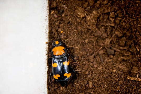 The American burying beetle explores dirt inside an exhibit at the World of Insect, in the Cincinnati Zoo & Botanical Garden.