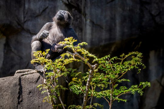 """Gladys, 6, sits in the Gorilla World habitat at the Cincinnati Zoo & Botanical Garden in April. She arrived at the Zoo as a one-month-old orphan. M'Linzi taught Gladys """"gorilla etiquette"""" and became her surrogate mother."""