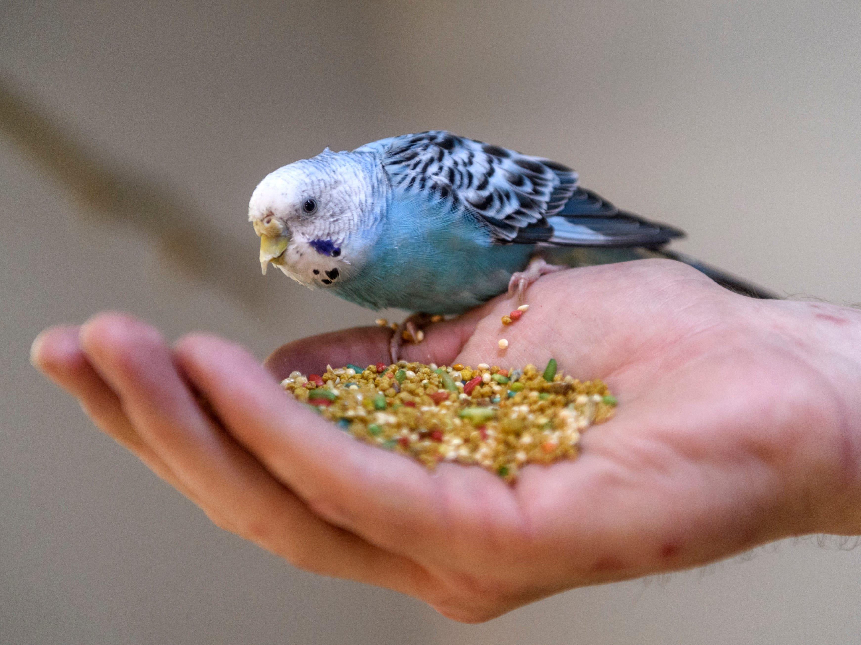 Zookeeper Bryan Plis lets a female Budgie eat out of his hand at Evansville's Mesker Park Zoo, Thursday morning, May 2, 2019. About 350 budgies are currently being sequestered inside as the zoo prepares a new interactive outdoor atrium exhibit, which will open to the public on May 17.