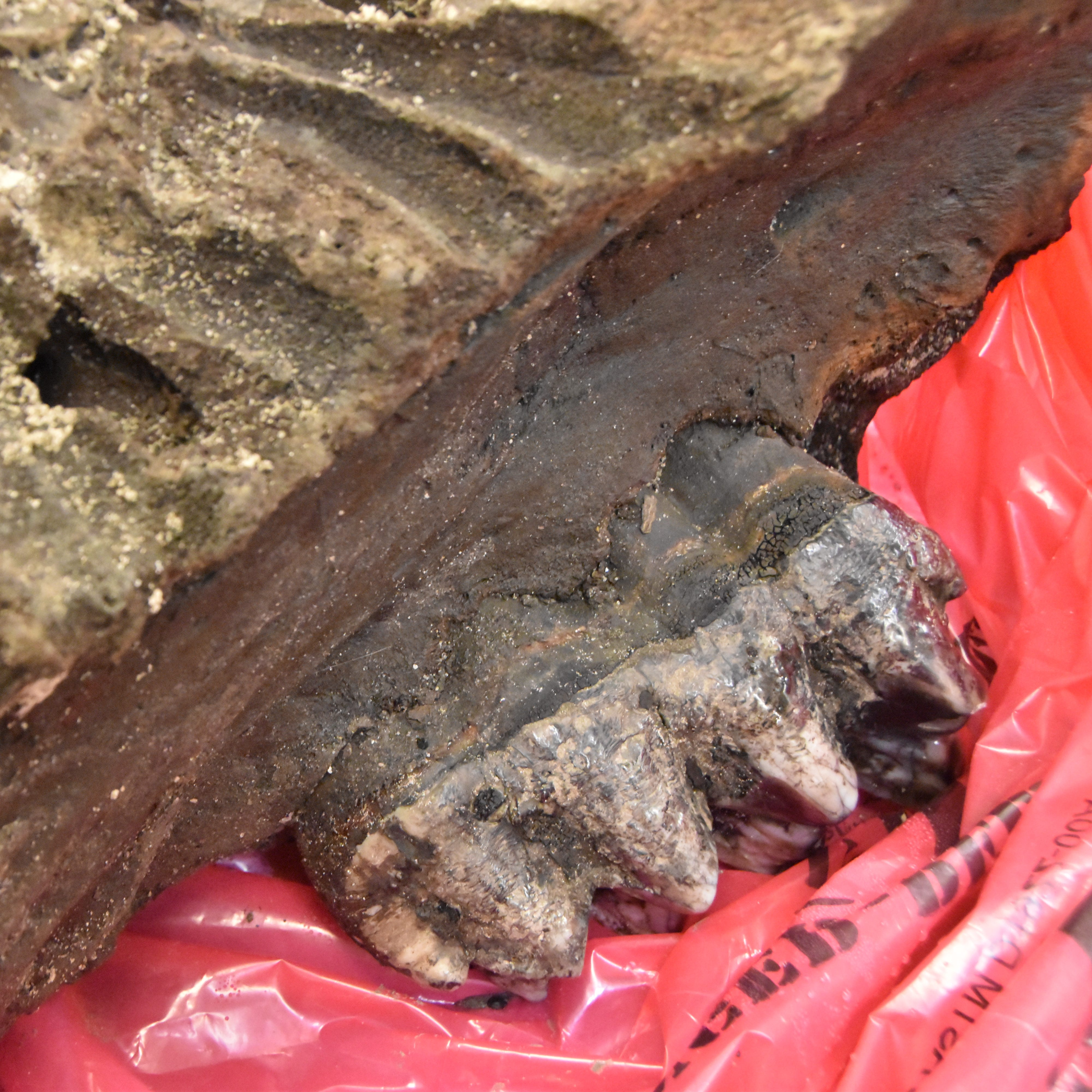 Mastodon bones found on a farm in Seymour are now at an Indianapolis museum