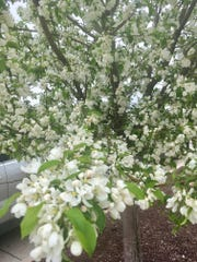 """The apple trees are in full bloom, indicating the start of the """"real"""" growing season."""