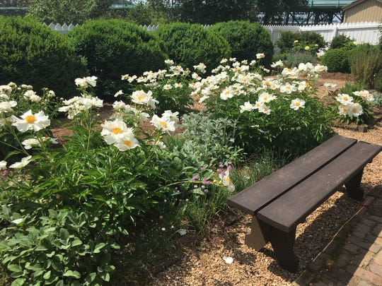 These spectacular peonies, along with all the other plants, are faithfully maintained by the Knoxville Garden Club.  May 1, 2019.