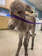 An injured newborn donkey that became separated from its mother and wandered onto a street just north of Moreno Valley was receiving veterinary attention Wednesday, May 1, 2019, and expected to make a full recovery.