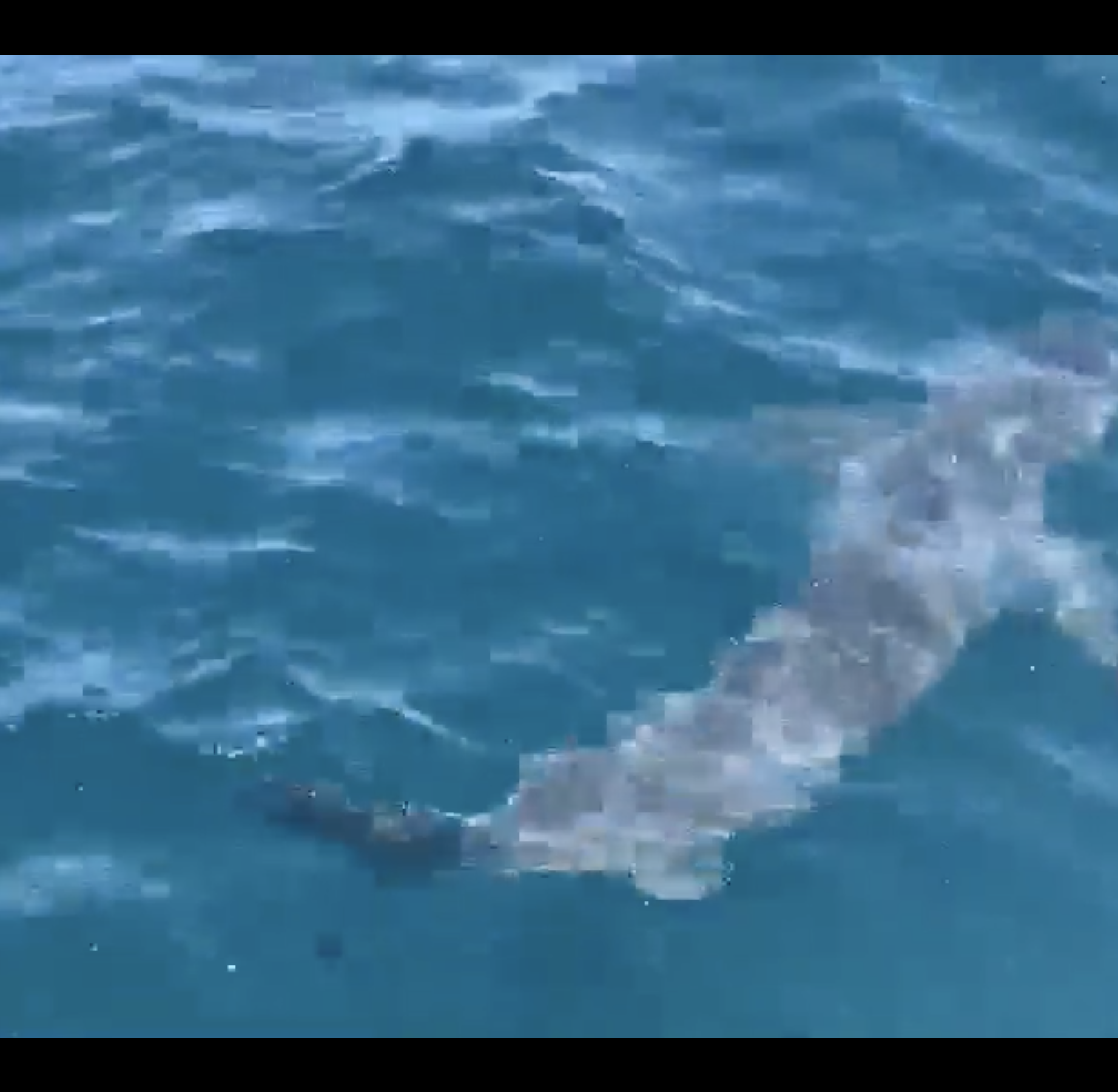 Caught on camera: Great white shark cruises alongside Pensacola charter boat