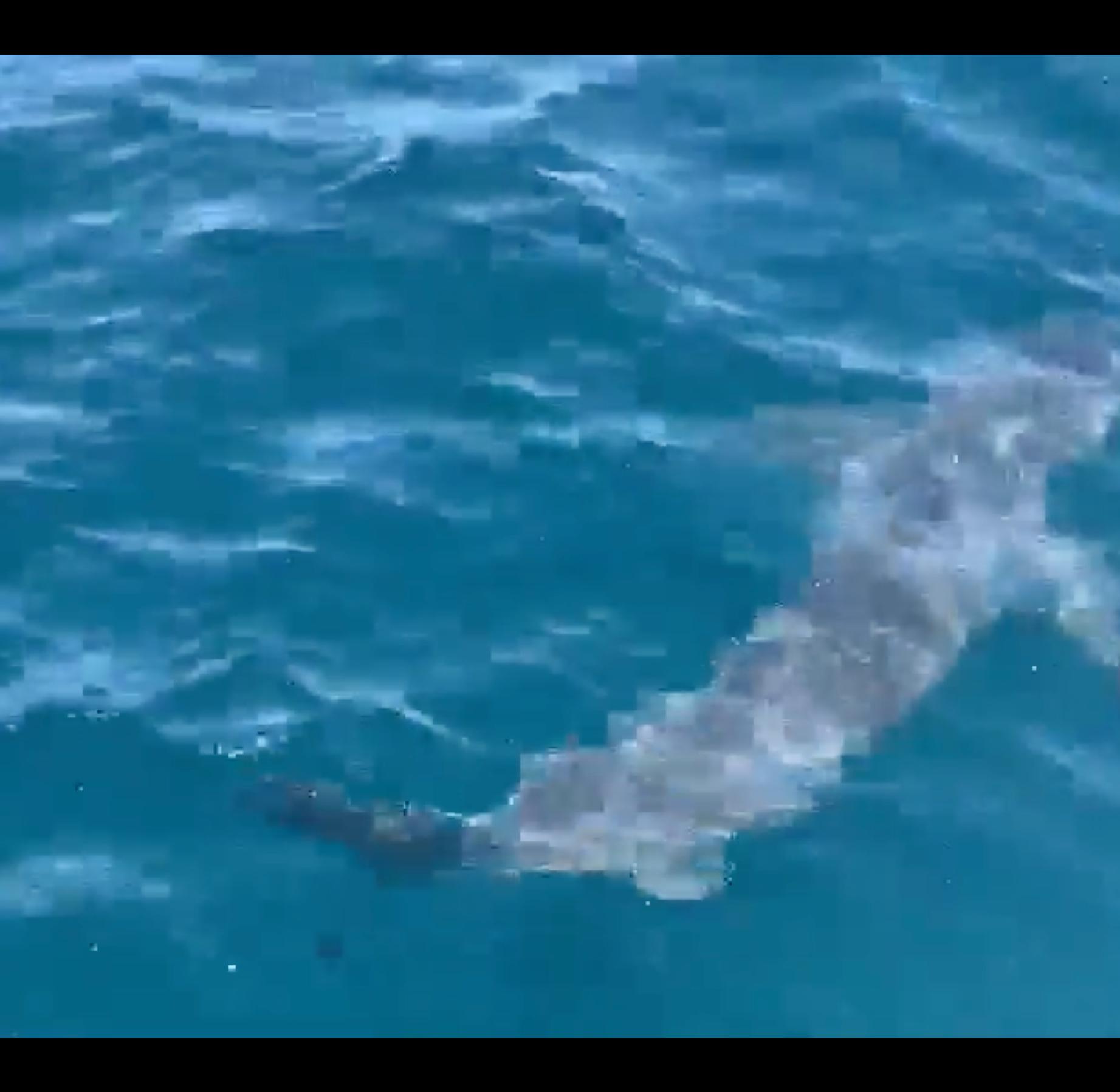 Caught on camera: Great white shark cruises alongside Pensacola charter boat