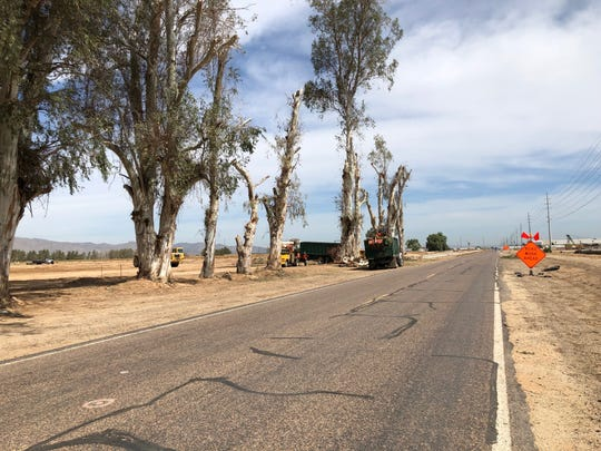 Iconic eucalyptus trees along Cotton Lane in Goodyear were cut down Thursday.