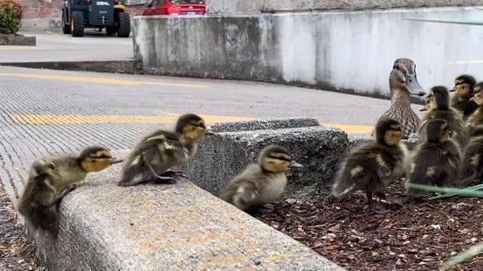 A family of ducks treks through downtown Salem.