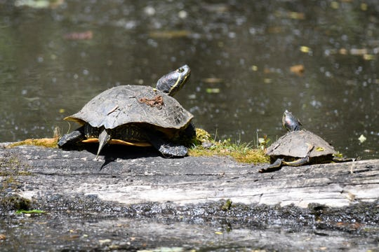 An invasive species, red-eared slider turtles are competing with native turtles for habitat and food supplies at Minto-Brown Island Park in Salem, Ore.