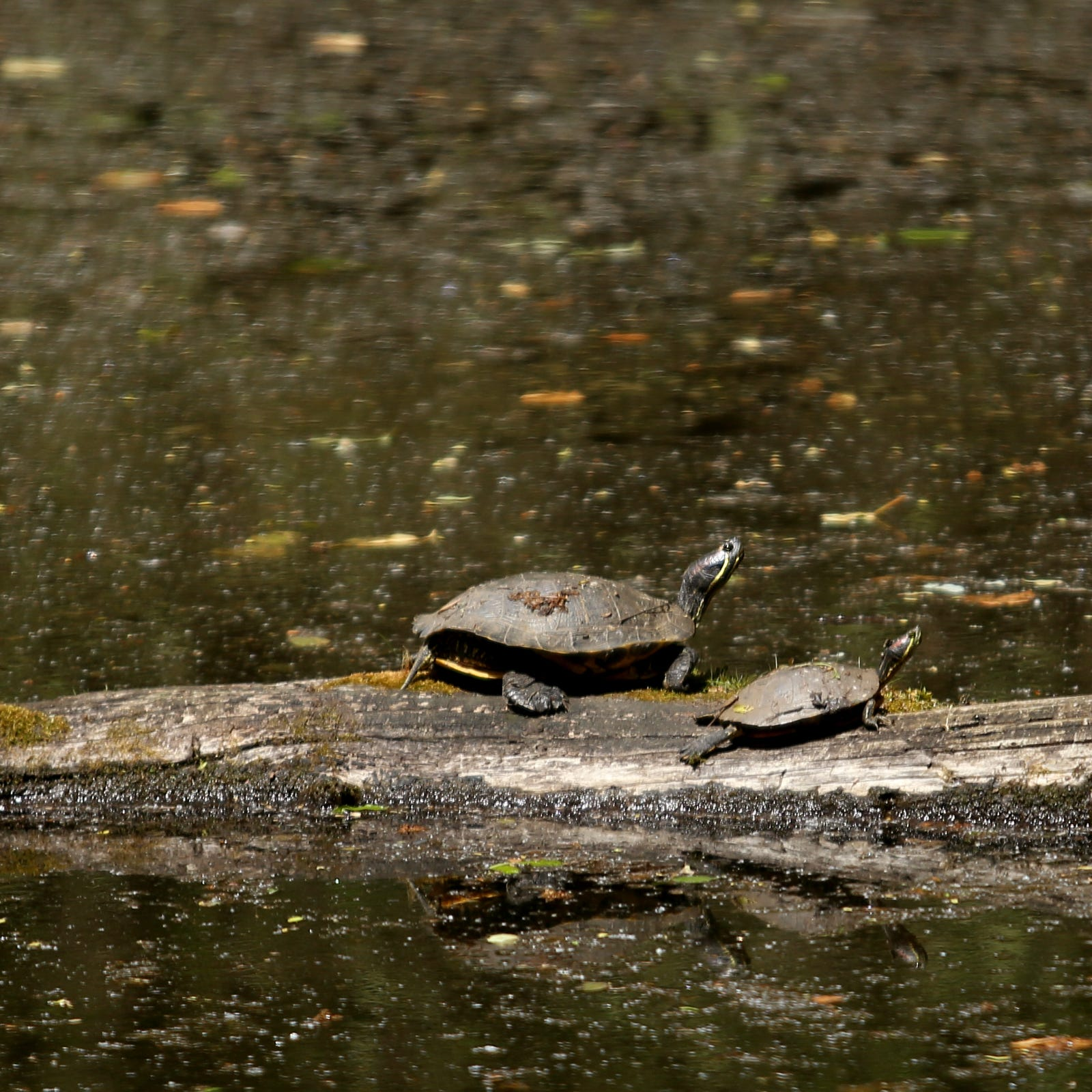 Illegally dumped turtles threaten ecology of Salem's Minto-Brown Island Park