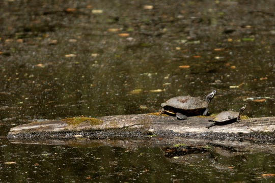 An invasive species, red-eared slider turtles, are competing with native turtles for habitat and food supplies at Minto-Brown Island Park in Salem on May 2, 2019.