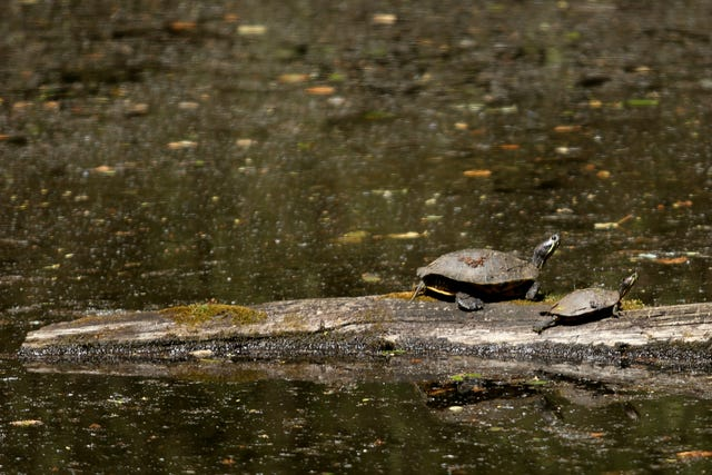 Illegally dumped turtles threaten ecology of Minto-Brown