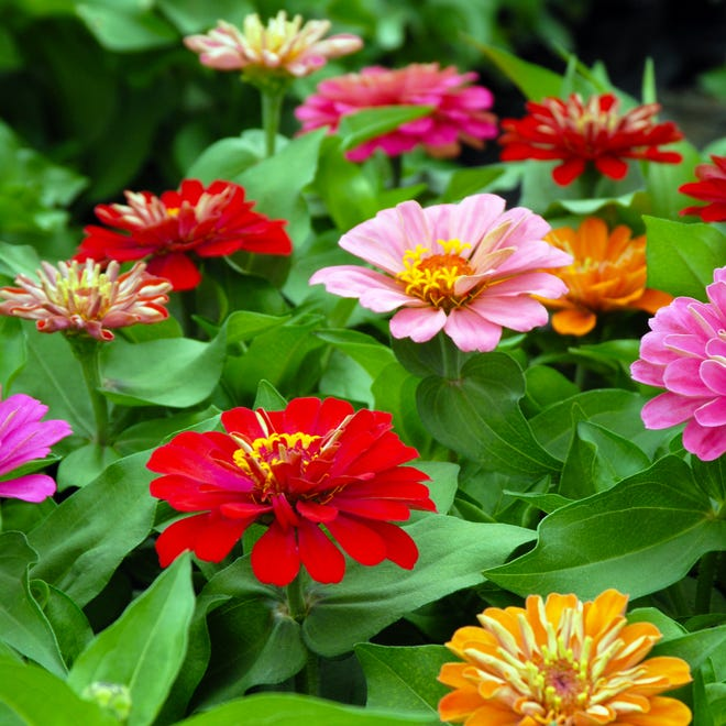 Dreamland zinnias can face attack of powdery mildew when the soil is waterlogged.