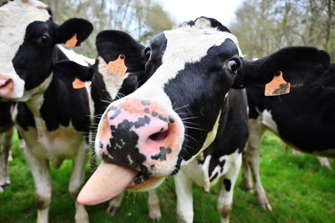 Do these cows know how fashionable they are? It seems cow print is in this summer.
