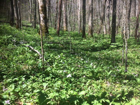 A rich cove forest in Stand 108-8 in the proposed Buck Project area in Nantahala National Forest.