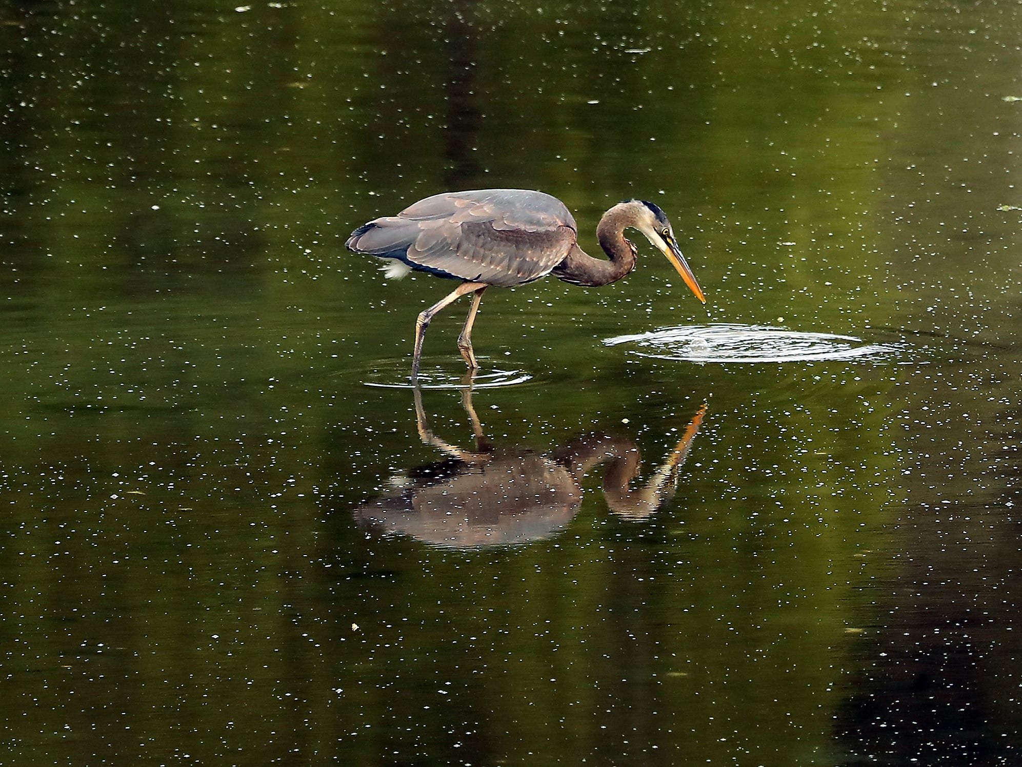 A great blue heron fishes in the reflective waters during low tide in Bainbridge Island's Eagle Harbor.