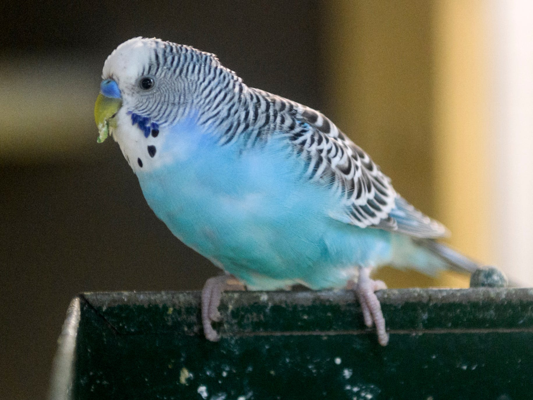 A Budgie eats it's breakfast at Mesker Park Zoo in Evansville, Ind., Thursday, May 2, 2019.