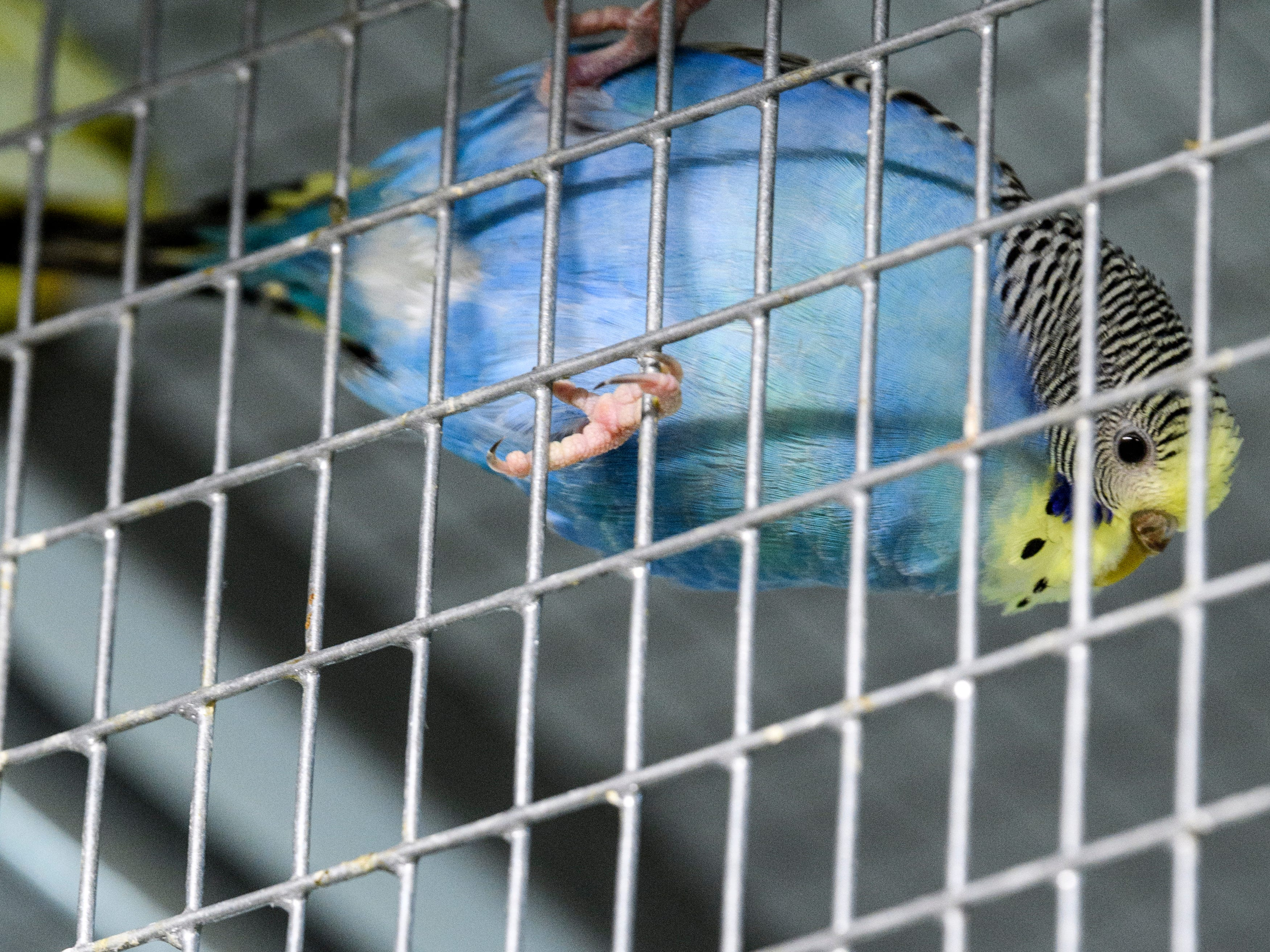 A Budgie peaks out from it's cage at Mesker Park Zoo in Evansville, Ind., Thursday, May 2, 2019. A new interactive outdoor Budgie exhibit will open to the public on May 17.