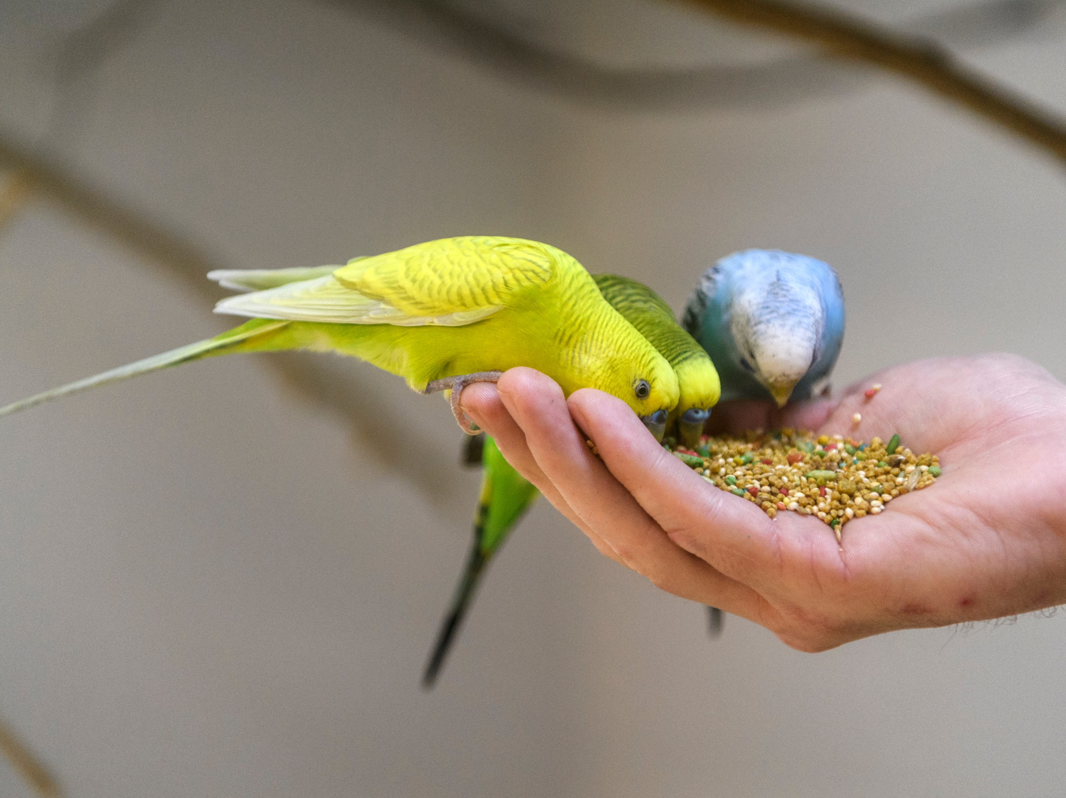 Zookeeper Bryan Plis lets Budgies eat out of his hand at Evansville's Mesker Park Zoo, Thursday morning, May 2, 2019. About 350 budgies are currently being sequestered inside as the zoo prepares a new interactive outdoor atrium exhibit, which will open to the public on May 17.