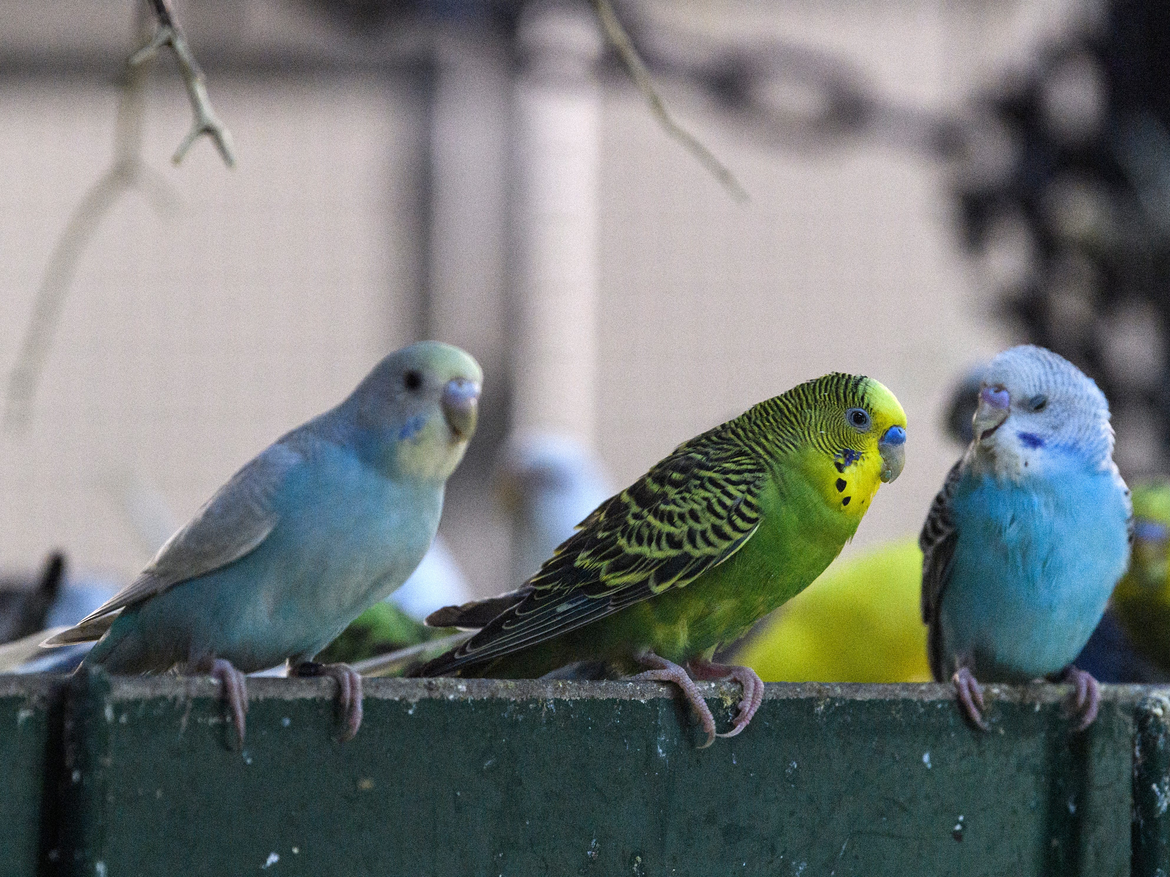 Budgies, also known as parakeets, hang out in their cage after eating a mid-morning breakfast at Mesker Park Zoo in Evansville, Ind., Thursday, May 2, 2019. A new interactive atrium exhibit will house the 350 budgies, who are currently being sequestered inside until temperatures get warmer in Mid-May.