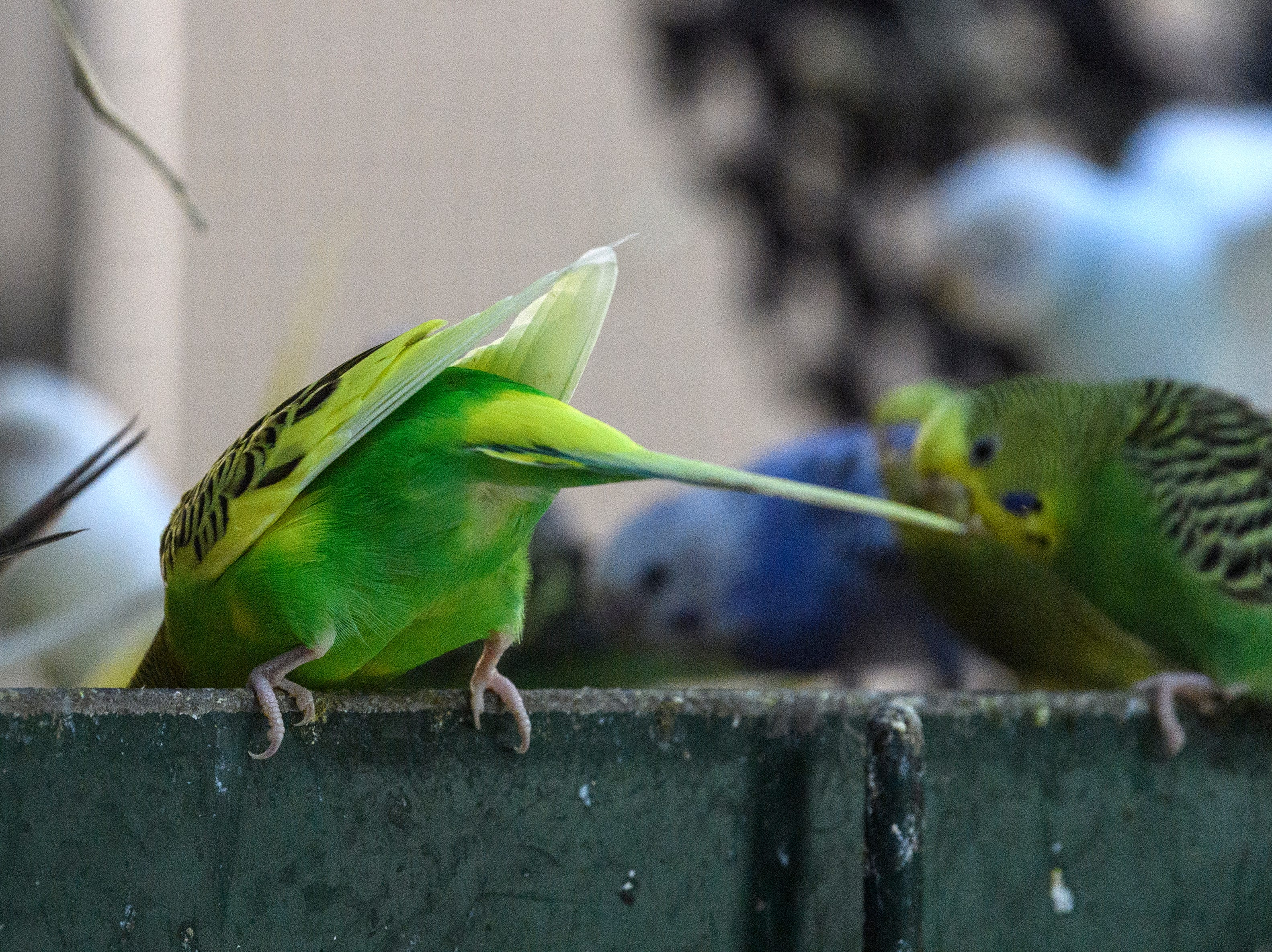 Budgies eat their mid-morning breakfast at Mesker Park Zoo in Evansville, Ind., Thursday, May 2, 2019. The new interactive outdoor Budgie exhibit will open to the public on May 17.
