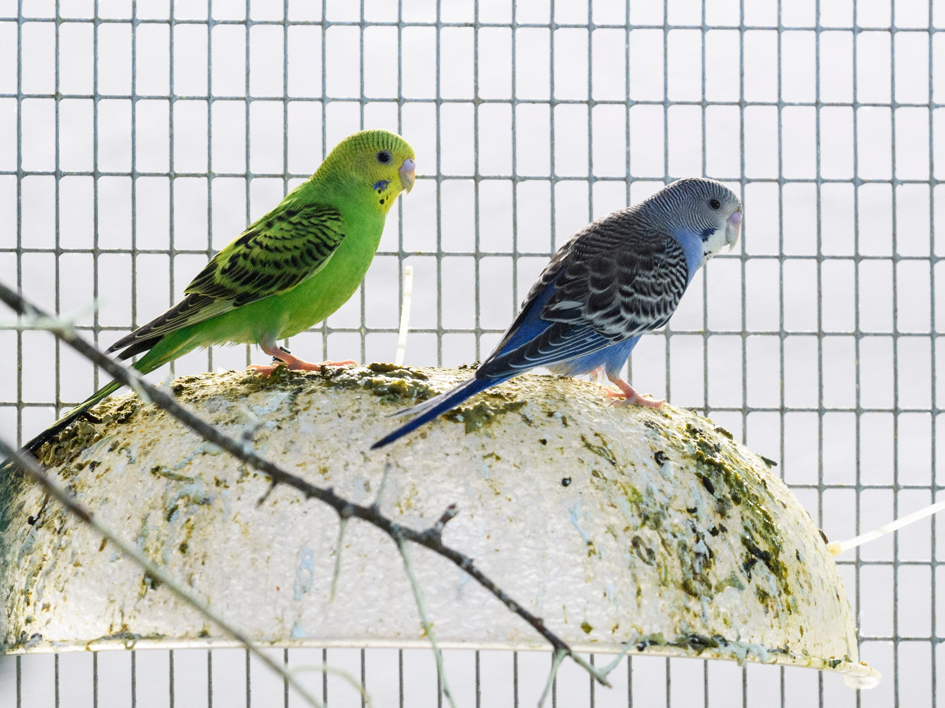 Two budgies, also known as parakeets, relax after eating a mid-morning breakfast at Mesker Park Zoo in Evansville, Ind., Thursday, May 2, 2019. A new outdoor Budgie atrium will open to the public on May 17.