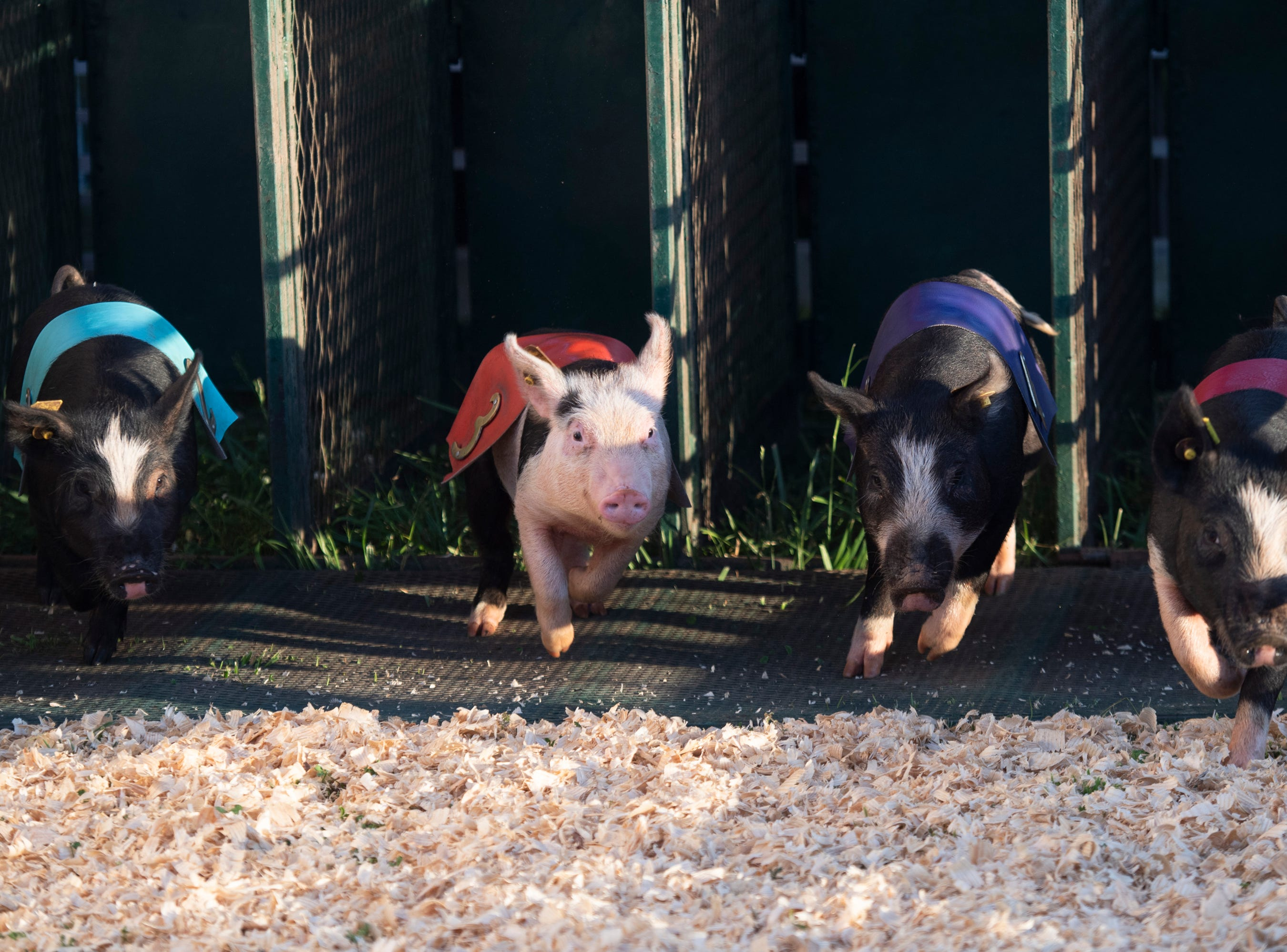 Pigs run for Rosaire's Royal Racers show during opening day of The Great Anderson County Fair Thursday, May 2, 2019.