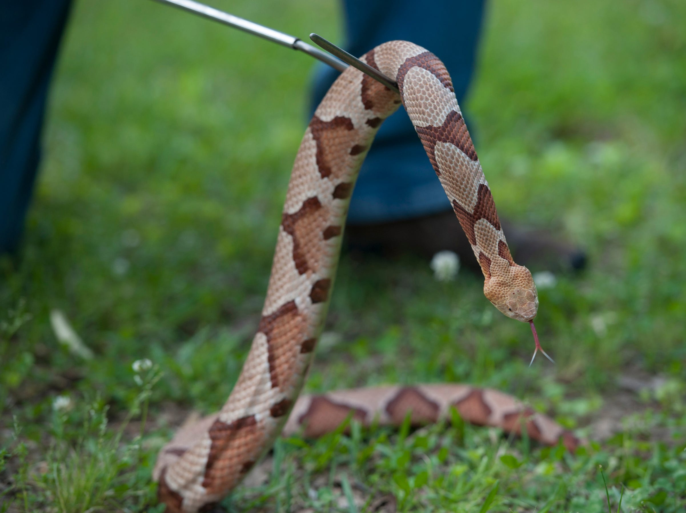 The venomous copperhead can be identified by the marking on its back. Some people think the markings look like hourglasses, saddlebags, dog biscuits or Hershey's kisses.