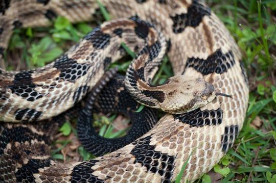 The timber rattlesnake is one of six venomous snakes in Mississippi and with spring nearing, they will soon be more active.