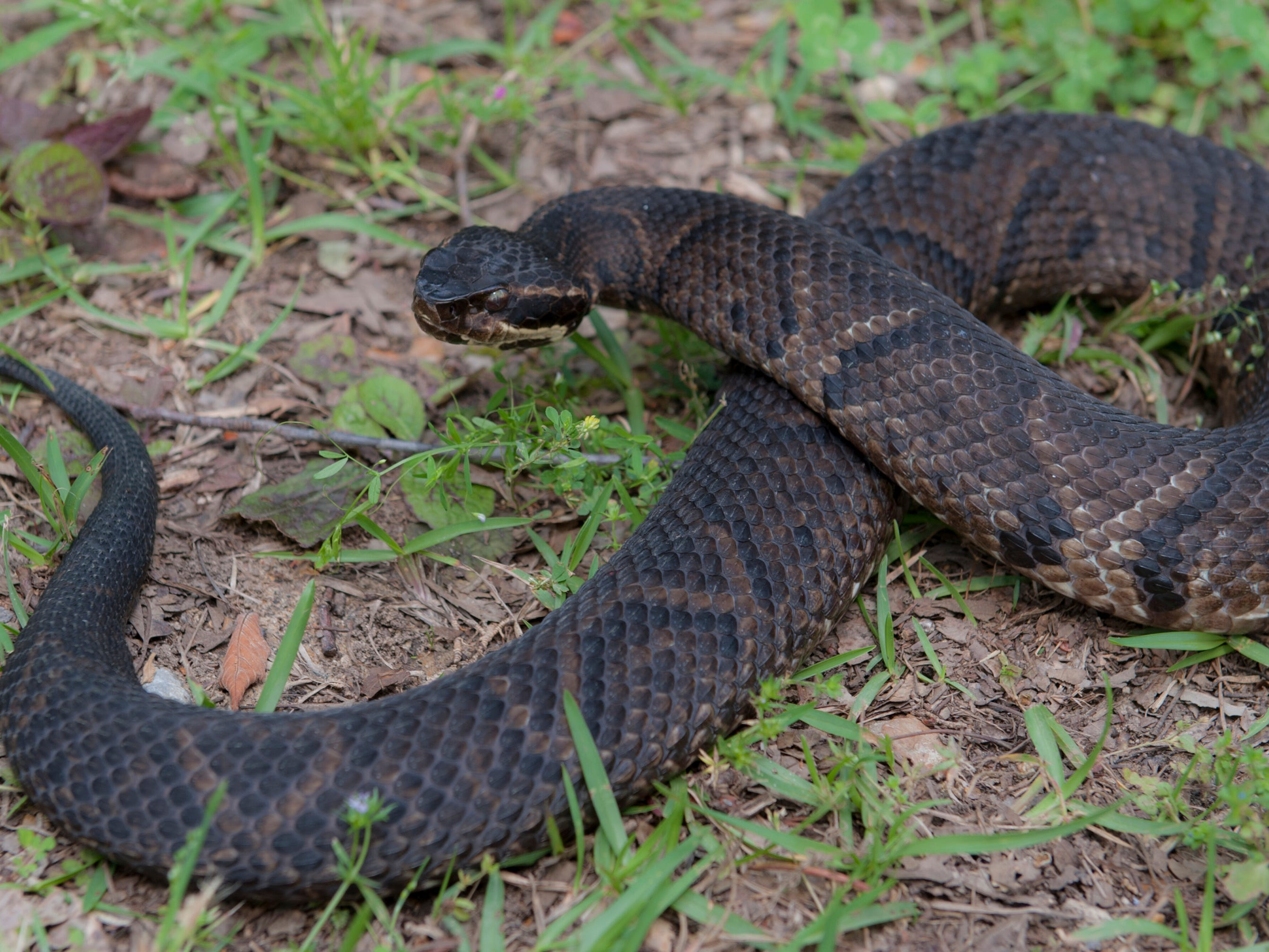The white mouth of the cottonmouth stands out as a warning to anyone who might come too close when the venomous snake is resting camouflaged on a bed of wet leaves .