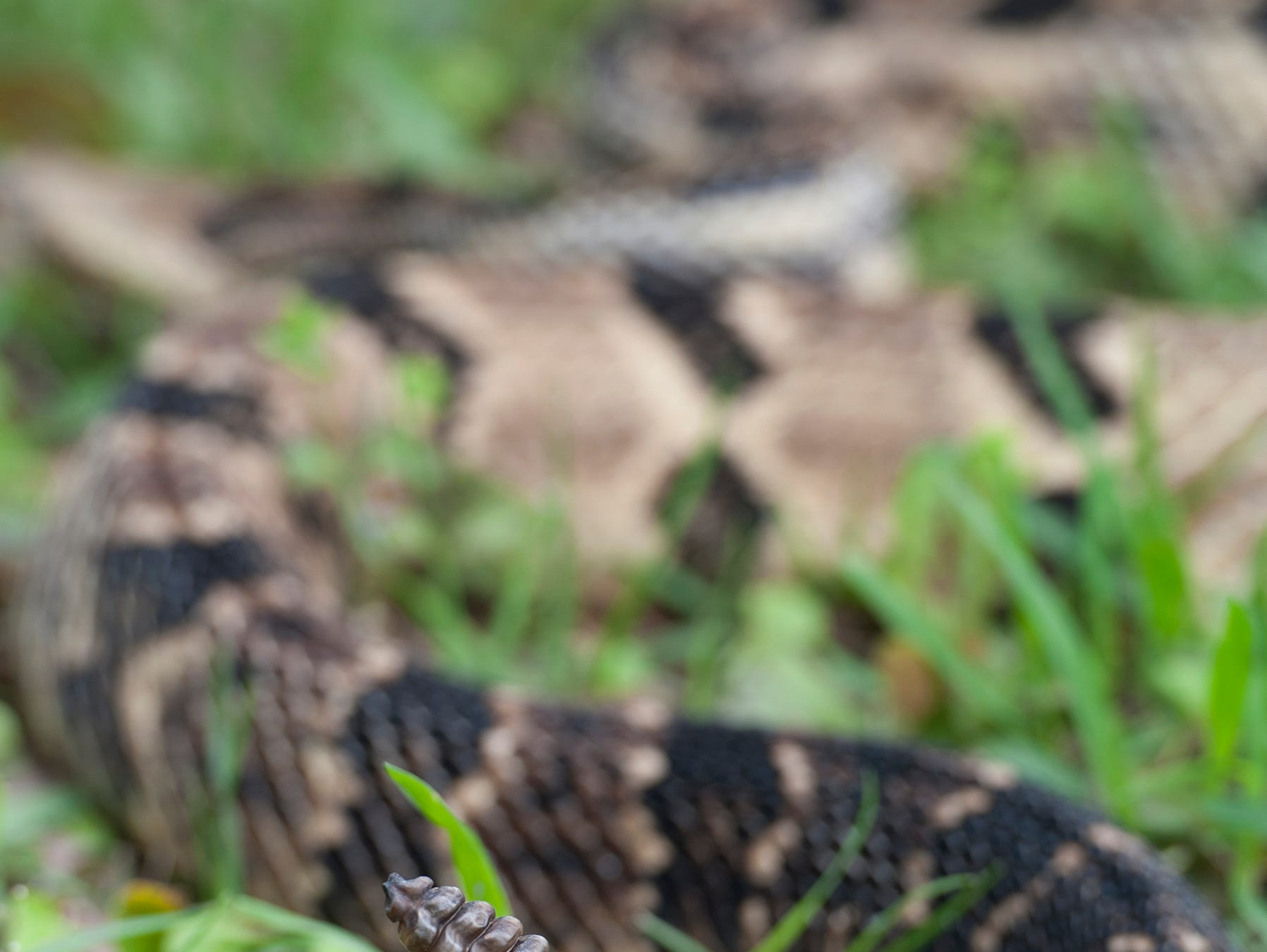 The rattlesnake is one of only six venomous snakes in Mississippi. According to herpetologist Terry Vanderventer, it is relatively rare for the snake to actually sound its rattle.
