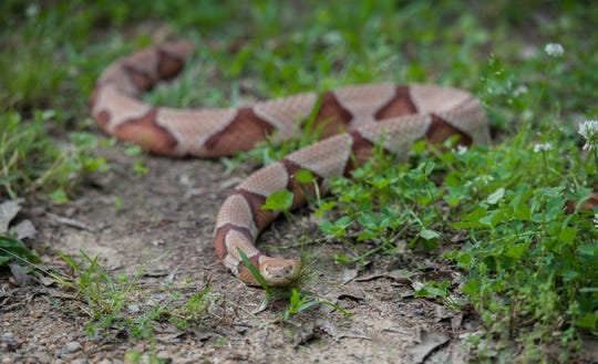 A copperhead bit a 7-year-old at a campsite. Here's what you should know about the snakes.
