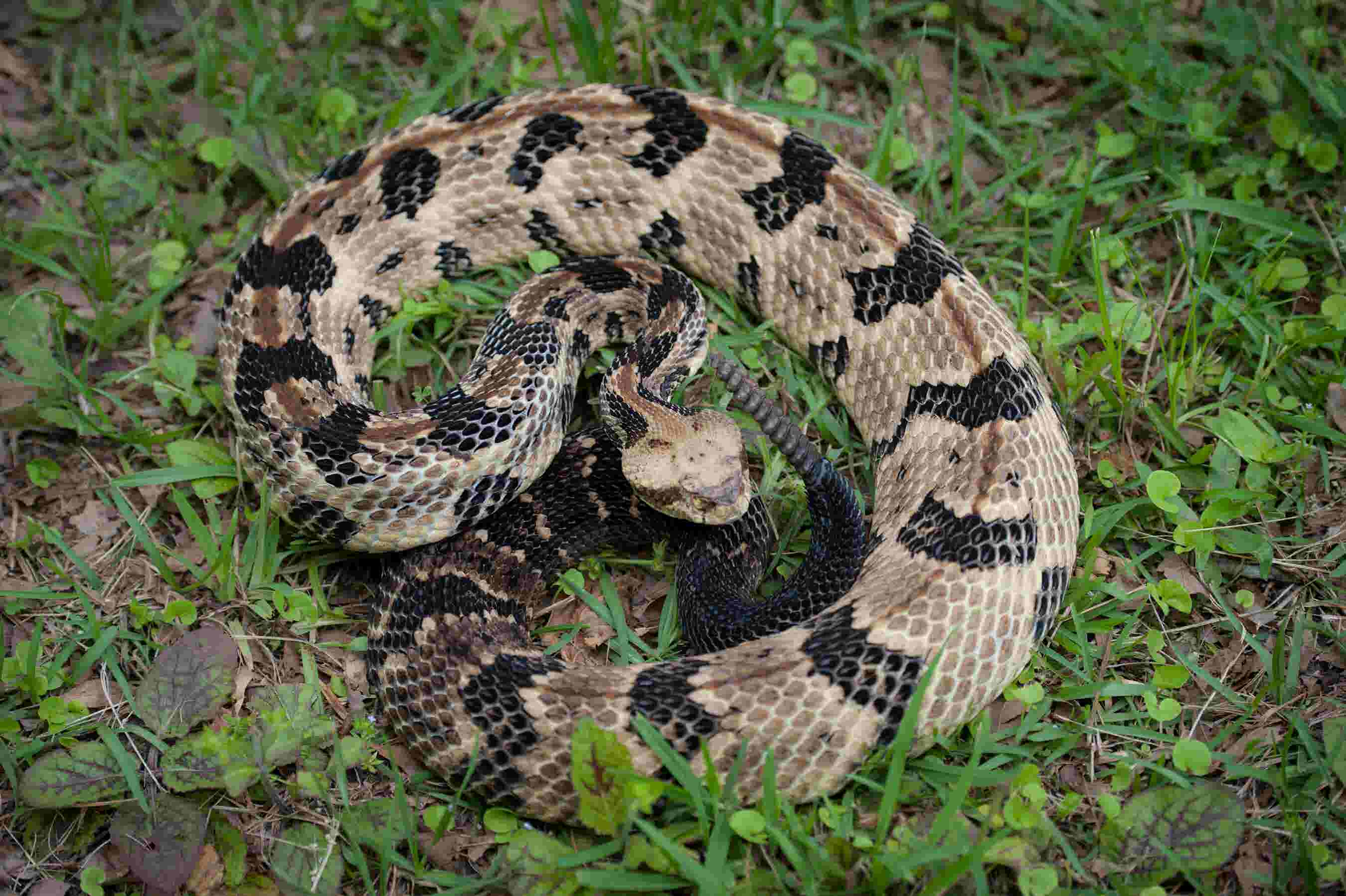 Remarkable Mississippi Snakes Dont Vex The Venomous Interior Design Ideas Inesswwsoteloinfo