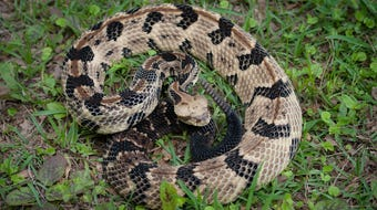 Whether it be a rattlesnake, cottonmouth or copperhead, don't bother it. Take two steps back and walk away.