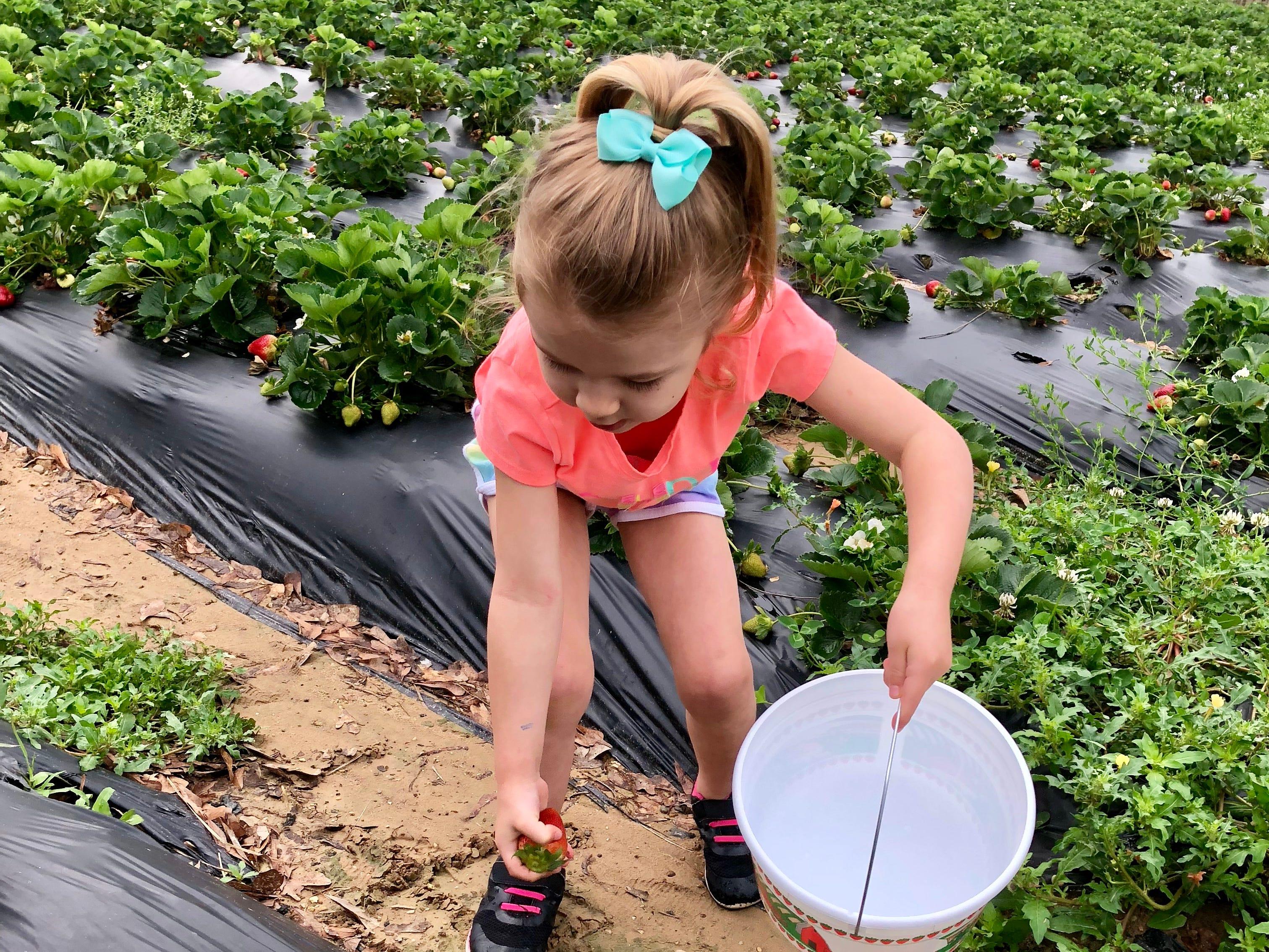 Avery Guidry, 4, picks strawberries April 6 at Mrs. Heather's Strawberry Farm in Albany, Louisiana.