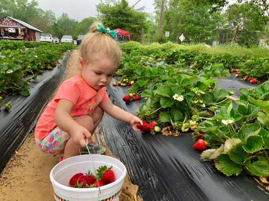 Marie Guidry, 2, picks strawberries April 6 at Mrs. Heather's Strawberry Farm in Albany, Louisiana.