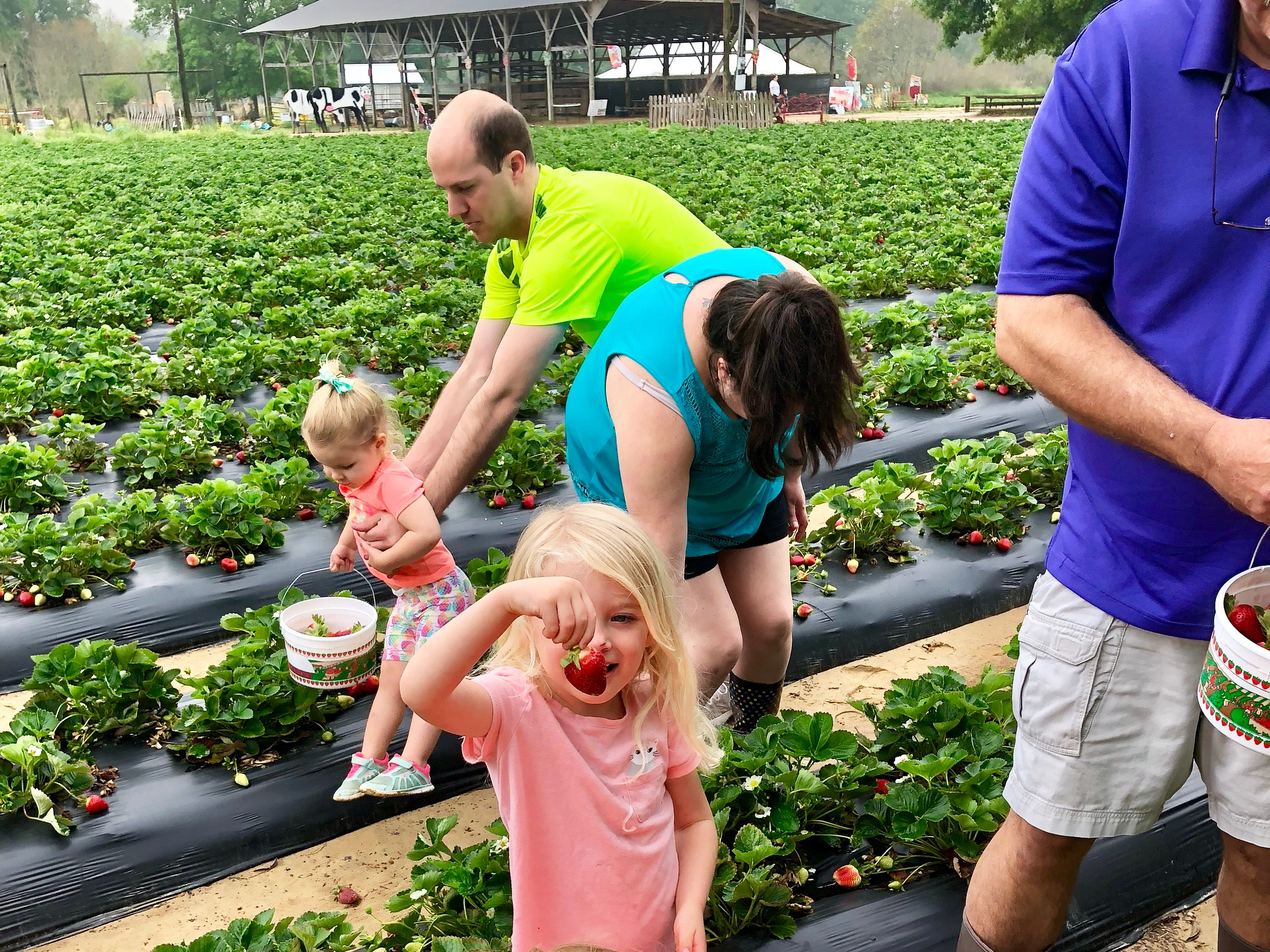 Claire Ivy, 3, picks strawberries with her cousins April 6 at Mrs. Heather's Strawberry Farm in Albany, Louisiana.
