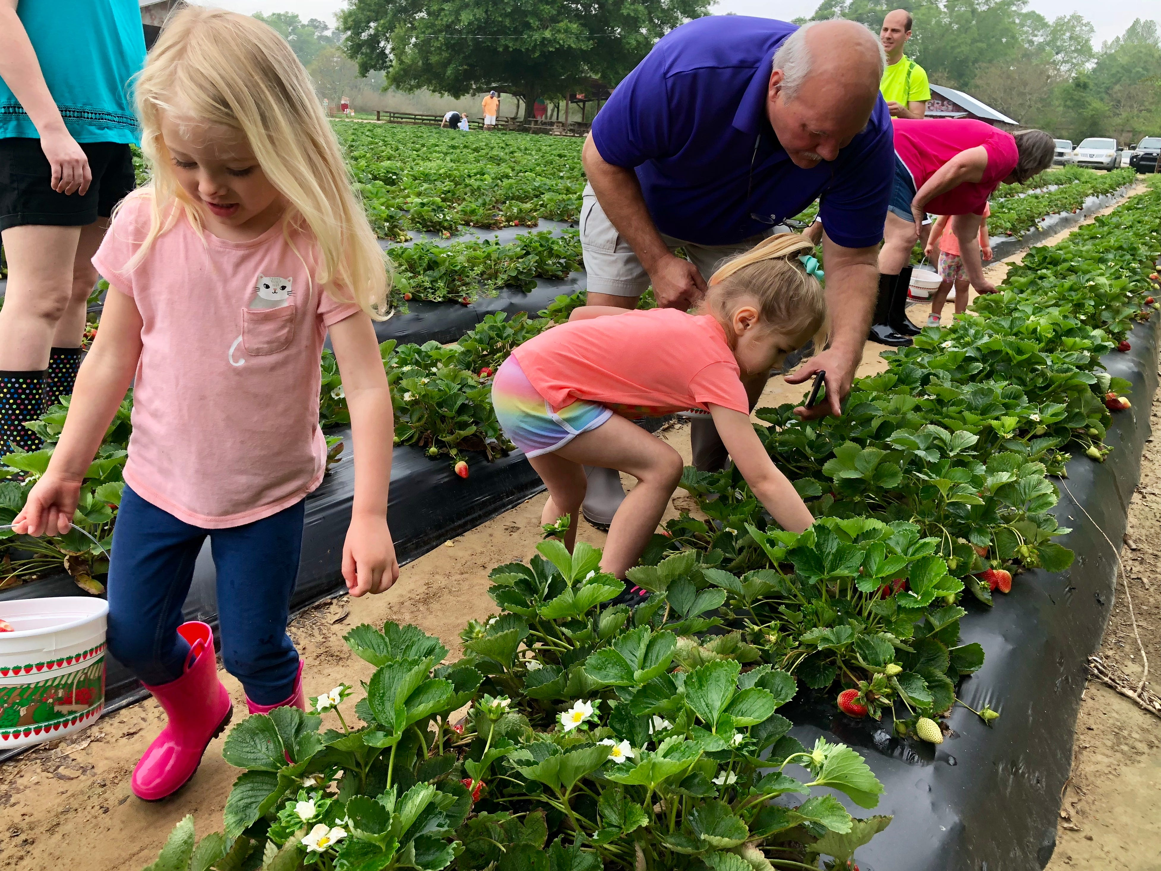 Families pick strawberries April 6 at Mrs. Heather's Strawberry Farm in Albany, Louisiana.