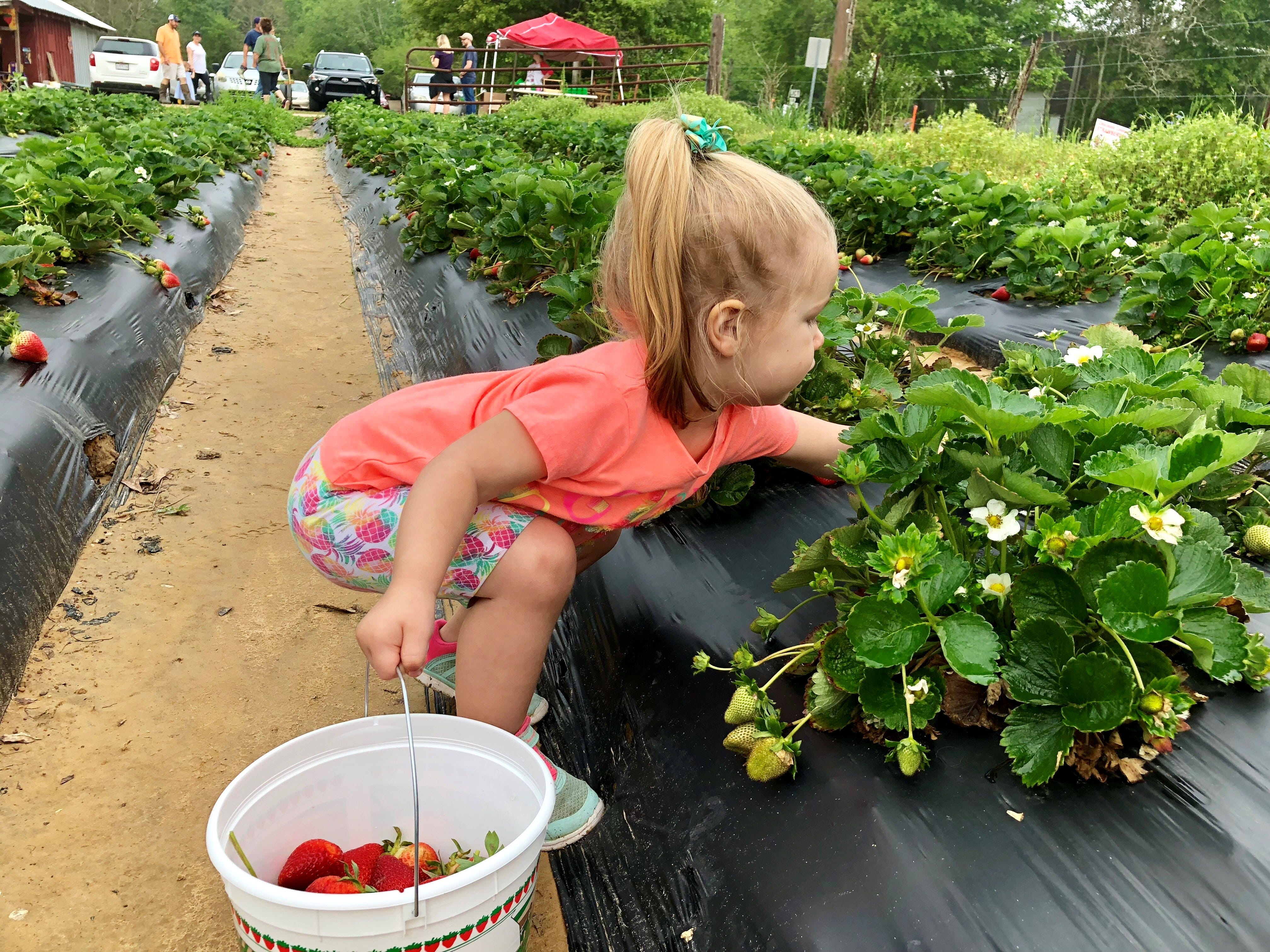 Marie Guidry, 2, picks strawberries with family April 6 at Mrs. Heather's Strawberry Farm in Albany, Louisiana.