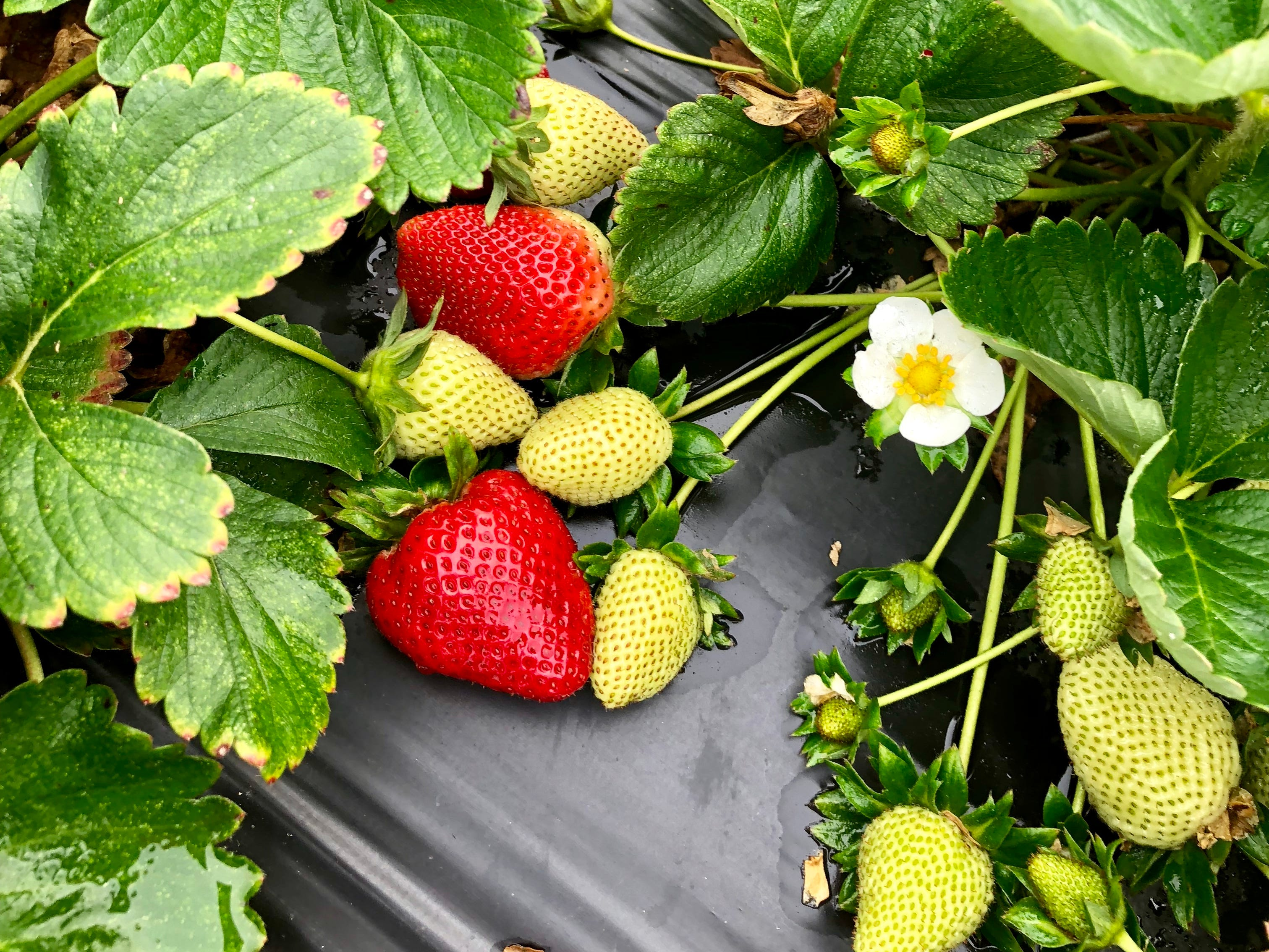 Visitors can pick strawberries at Mrs. Heather's Strawberry Farm in Albany, Louisiana.