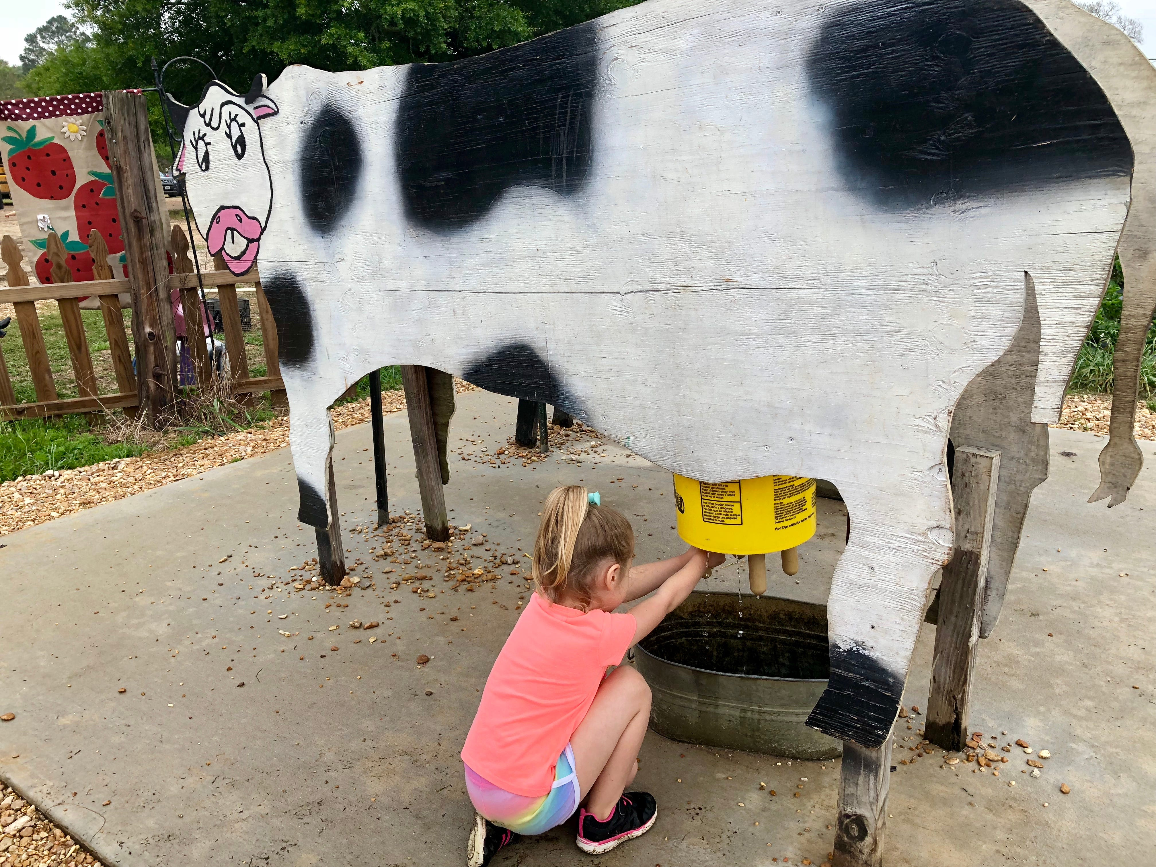 Avery Guidry learns to milk a cow at Mrs. Heather's Strawberry Farm in Albany, Louisiana.