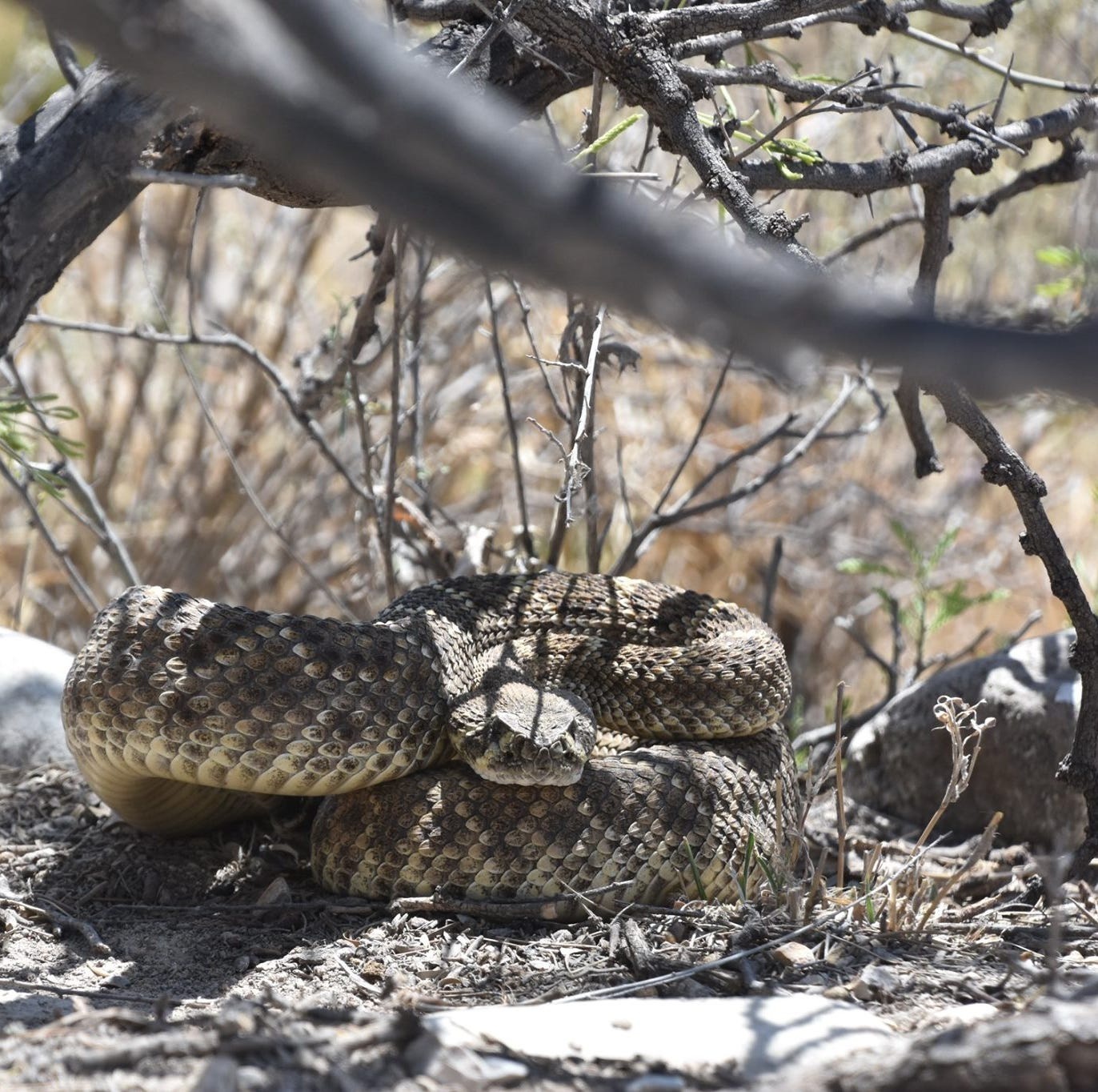 Las Cruces man bitten by rattlesnake while doing yard work at his home