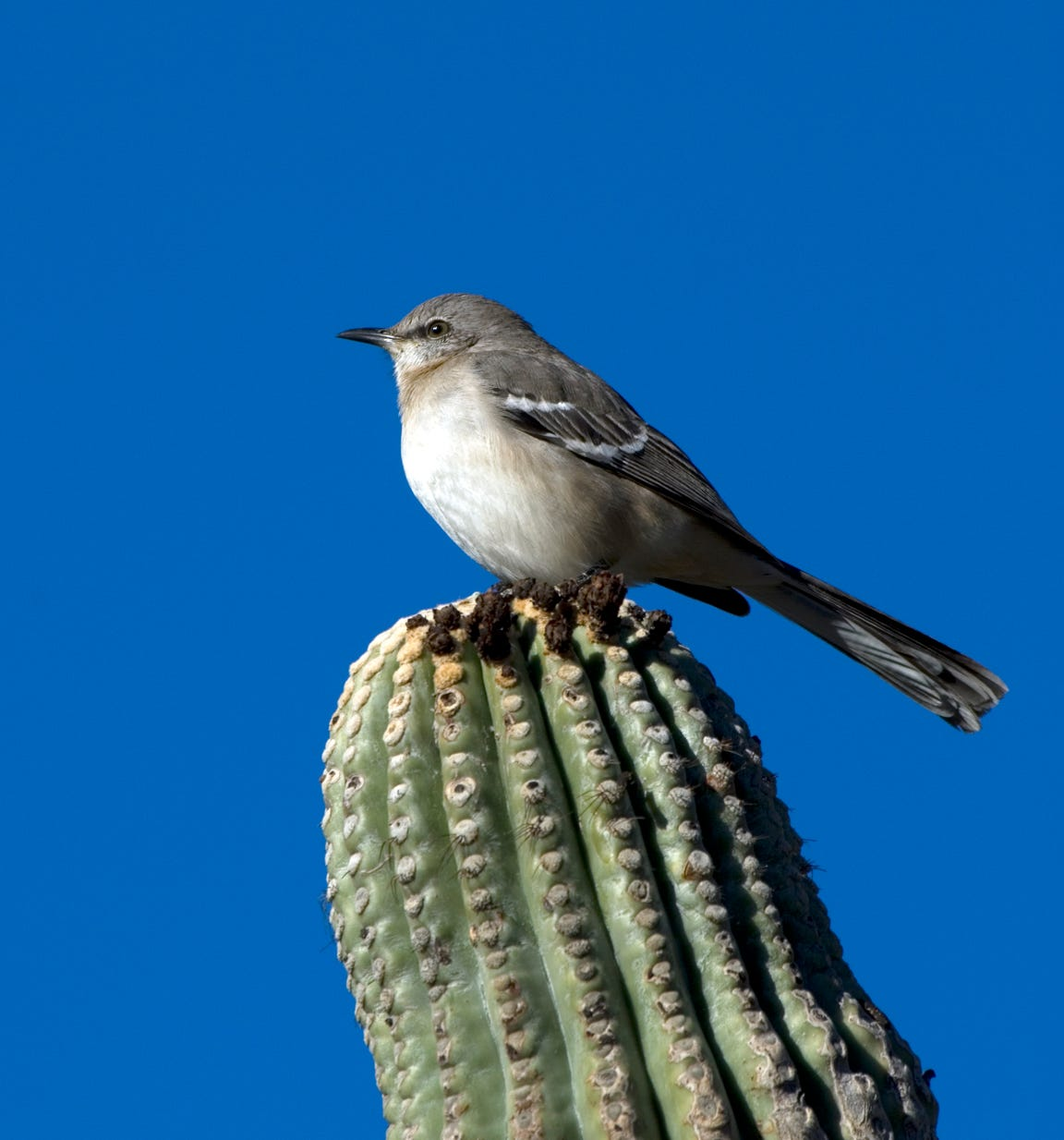 Unlike the loggerhead shrike, a mockingbird lacks a black facial mask.
