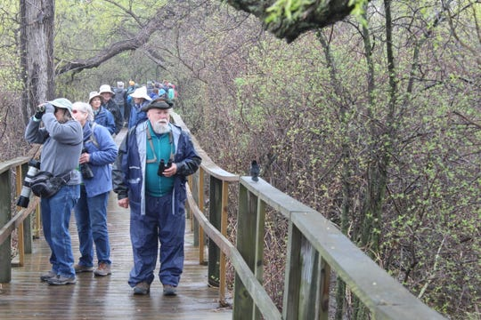 Birders on the Magee Marsh Boardwalk got a closer-than-usual look Friday morning at one of the migratory birds that visited the region. The Biggest Week in American Birding officially kicked off Friday morning at Magee Marsh, Ottawa National Wildlife Refuge and several other locations in Northwest Ohio.