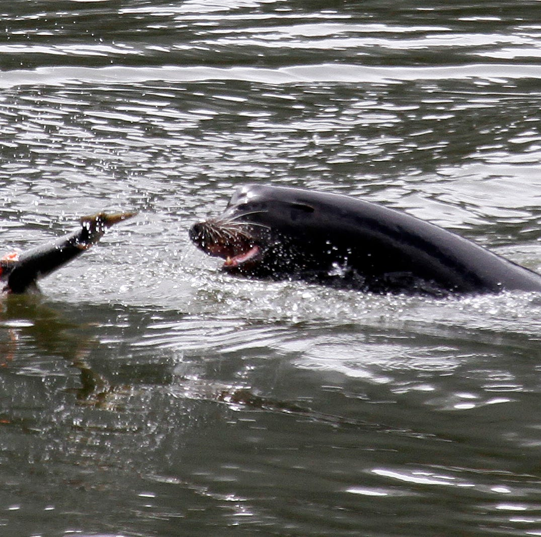 Criteria for killing salmon-eating sea lions reduced at Bonneville Dam on Columbia