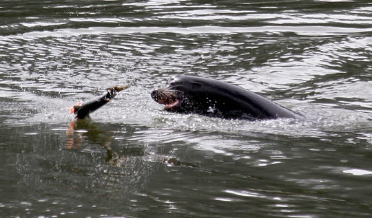 In this May 4, 2010, file photo, a sea lion tosses a partially eaten salmon in the Columbia River near Bonneville Dam.